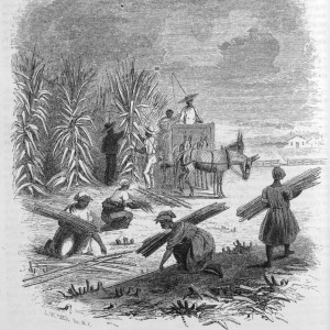 Enslaved people in Louisiana harvesting sugar cane. Harper's New Monthly Magazine. 1853. vol. 9. p. 760. Copy in Special Collections Department. University of Virginia Library.