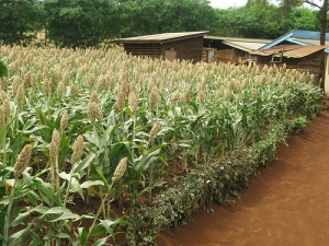 A farmer's sorghum field in Moshi, Tanzania (Photo: ICRISAT HOPE/Christine Wangari)""