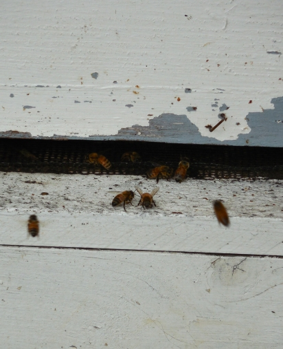 Close-up of bees at their  hive
