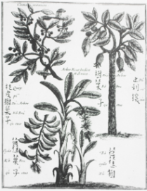 Drawing of cassia circa 1655