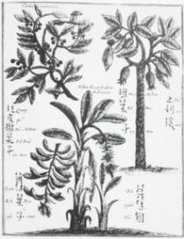 Drawing of cassia circa 1655