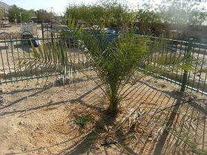 Methuselah, at Kibbutz Ketura