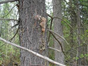 Spruce Tree with Sap