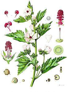 marshmallow-plant_kohler-s_medizinal-pflanzen-008