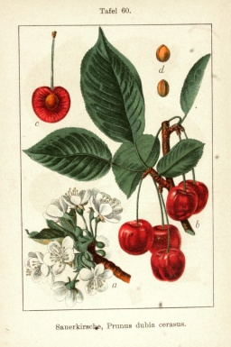 vintage-cherry-tree-drawing