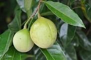 Nutmeg on Tree
